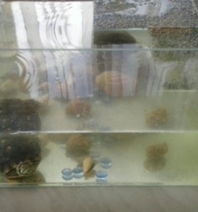 Пара красноухих черепах