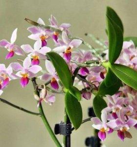 Орхидея Эквестрикс