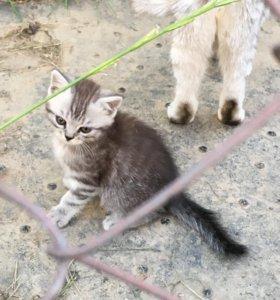 Котёнок шотландский скотиш страйт