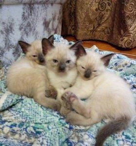 Тайские котята