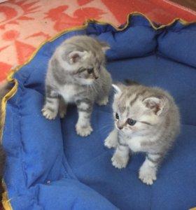 Котята с редким окрасом