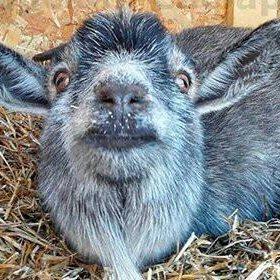 Козел красавец,три дойных козы+козочка3мес бонус