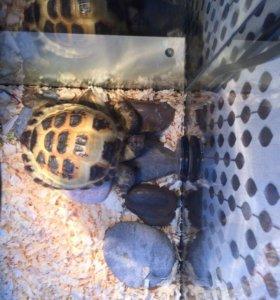 Черепаха сухопутная с террариумом