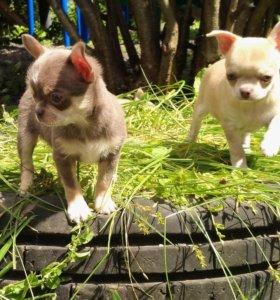 Высокопородные щенки чихуахуа