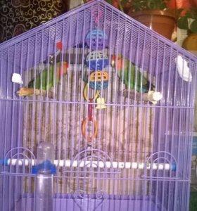 ‼️срочно. Неразлучники, пара веселых попугаев.
