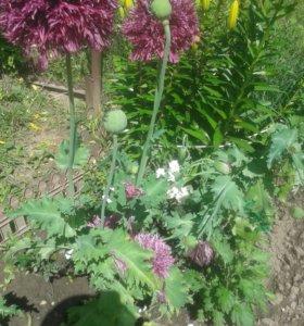 Семена Мака пионовидный махровый