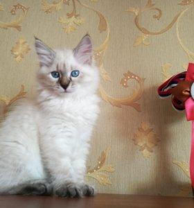 Котята породы Невская маскарадная