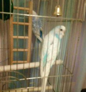 Продам попугаев ,двоих вместе с клеткой