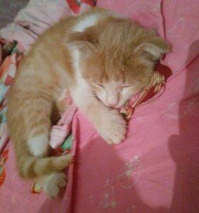 Котёнок вислоухий-девочка