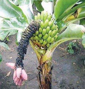 Банан киевский суперкарлик