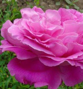 Роза Пионовидная.