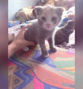Котята от мамы голубой Британки