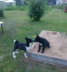 Два щенка русско-европейской лайки, кобели, 3месяц