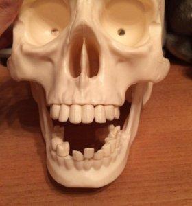 Череп из пластика для изучения анатомии