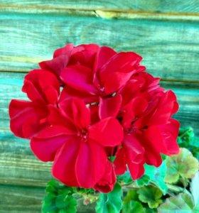 Пеларгония красная махровая.