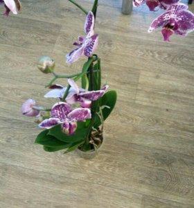 Фалинопсис(орхидея)