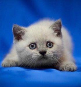Голубые шотландские котята