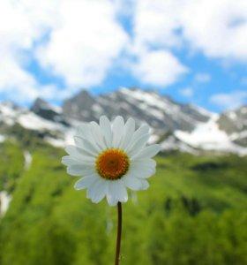 Ромашка аптечная лечебные травы оптом Алтай