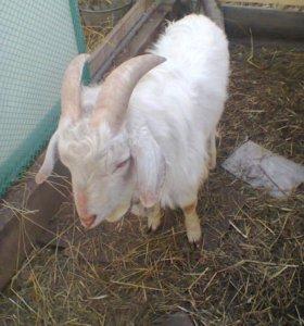 Зааненско-нубийскии козел