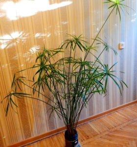 """Комнатное растение """"Циперус"""""""