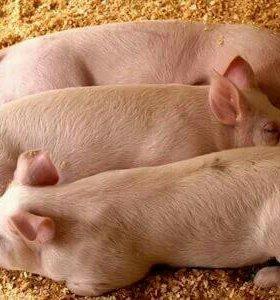 Поросята и свиньи