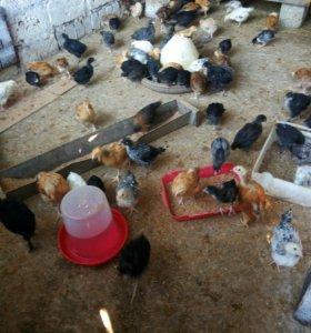 Домашние цыплята (куры + петухи)