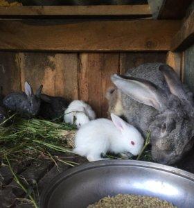 Крольчата великаны