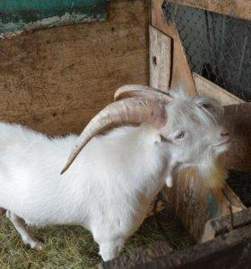 Козел и козлята