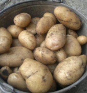 Картофель урожай 2017