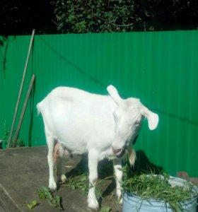 Коза молочная