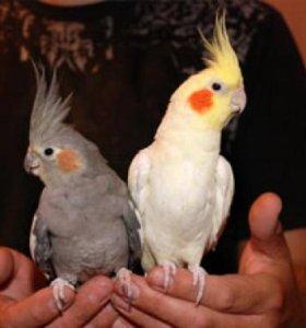 Попугай корелла (нимфа), птенцы 2 месяца