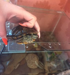 Черепаха, аквариум