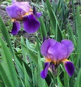 Ирис сиренево-фиолетовый