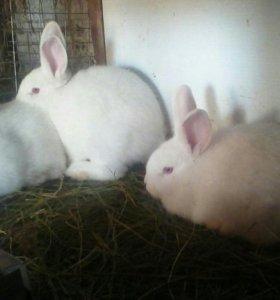 Кролики) Новозеландцы белые 4месяца