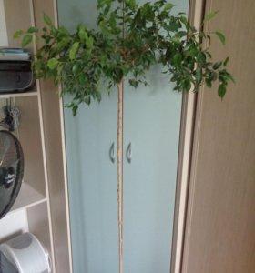 фикусовое дерево