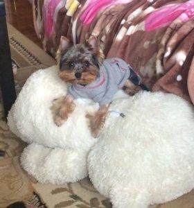 Продам подрощенного щенка йорка