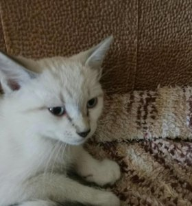 Котята мальчики белый и трехцветный