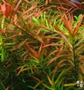 Людвигия Бревипес ( Аквариумное растение )