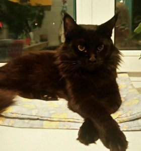 Котята Мейн-кун