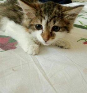 Котенок , девочка 1.5-2 месяца