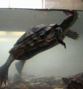 Черепаха красноухая 10 лет