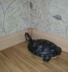 Черепахи красноухие, две штуки