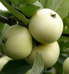 Яблоки. Белый налив