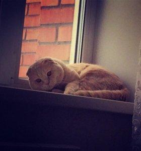 Вязка, кот шотландец вислоухий