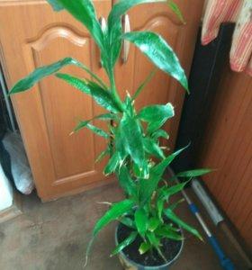 Бамбук комнатный цветочек