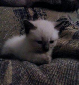 Котятки сиамские