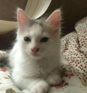 Котята сибирской с неизвестным