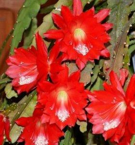 Эпифиллум (лесной кактус)