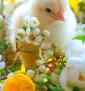 Леггорн цыплята суточные