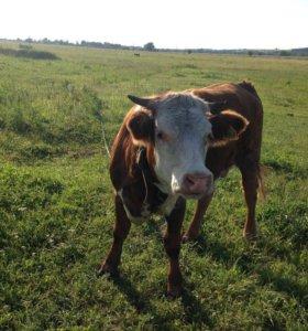 Телка (корова)